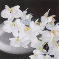 Orchidea Bianca Black