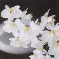 Orchidea Bianca Black