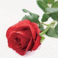 Rose Nobile