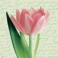 Tulipa Cream