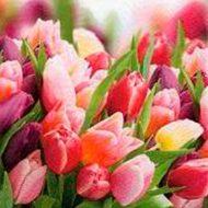 Pink & Violet Tulips
