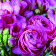 Freesia & Persian Buttercup Pink